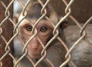 primates_gambod