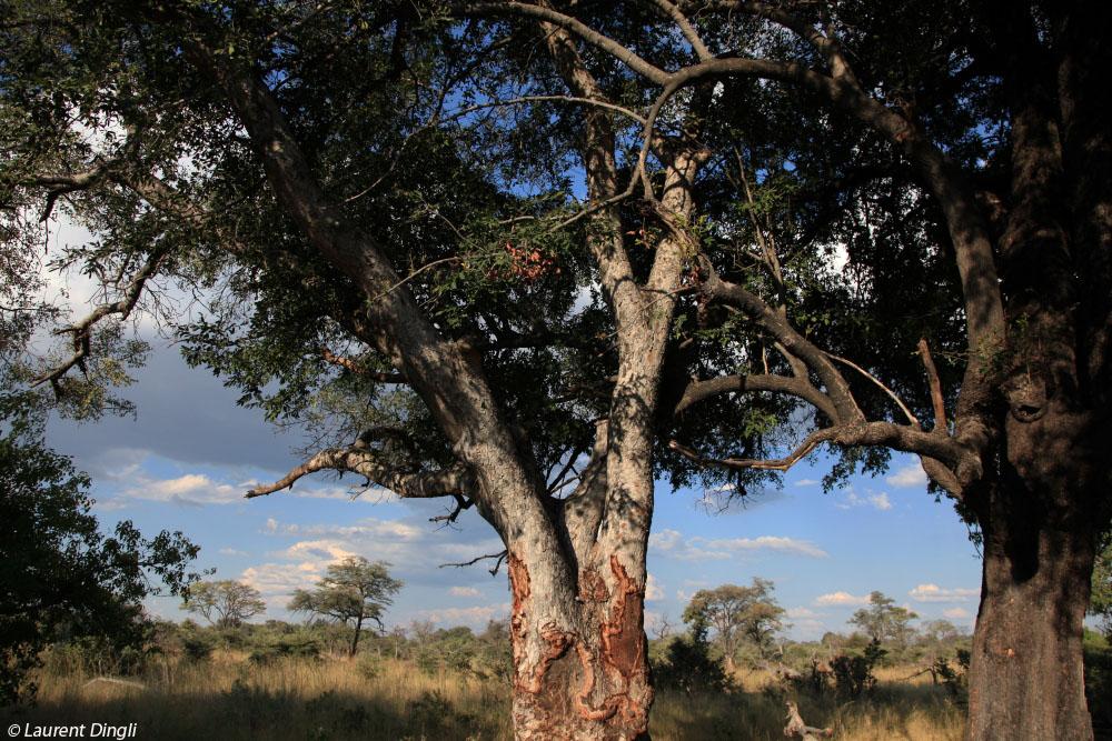 botswana_arbres_2