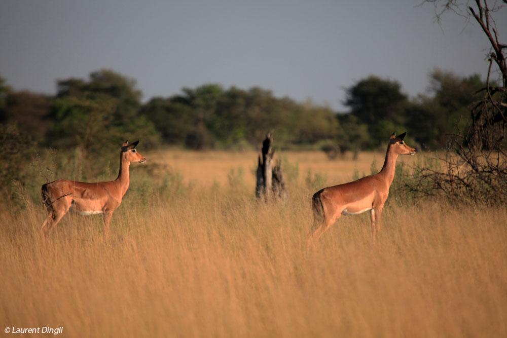 botswana_impalas_9