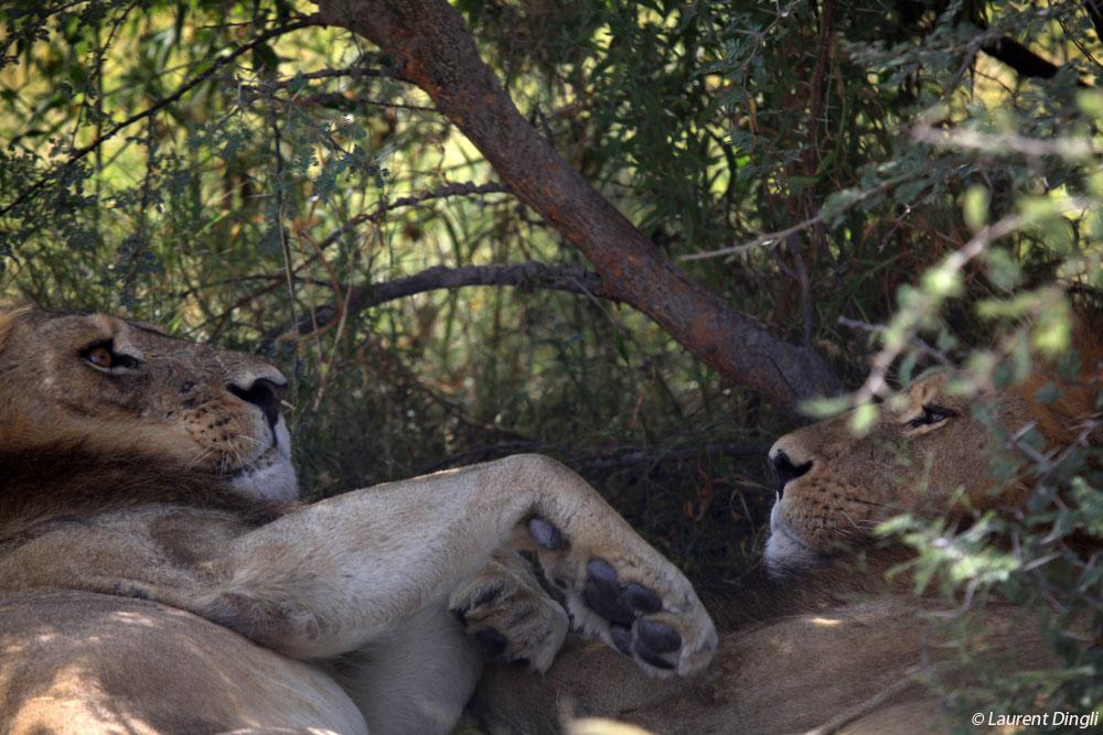 botswana_lion_3
