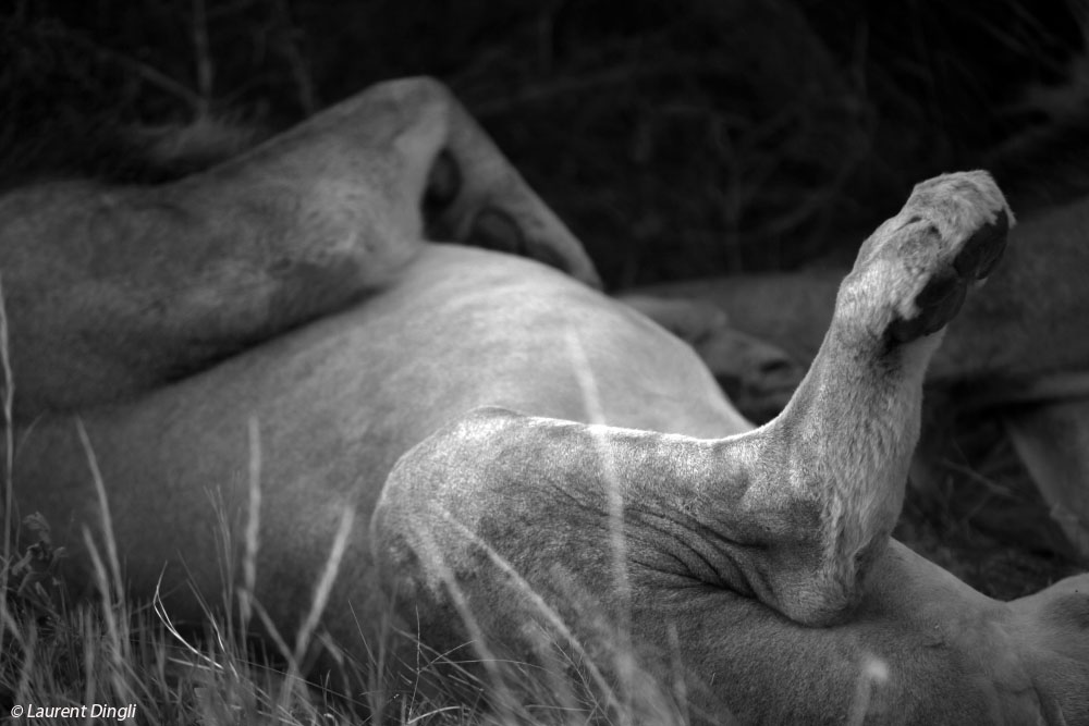 botswana_nb_lion_1