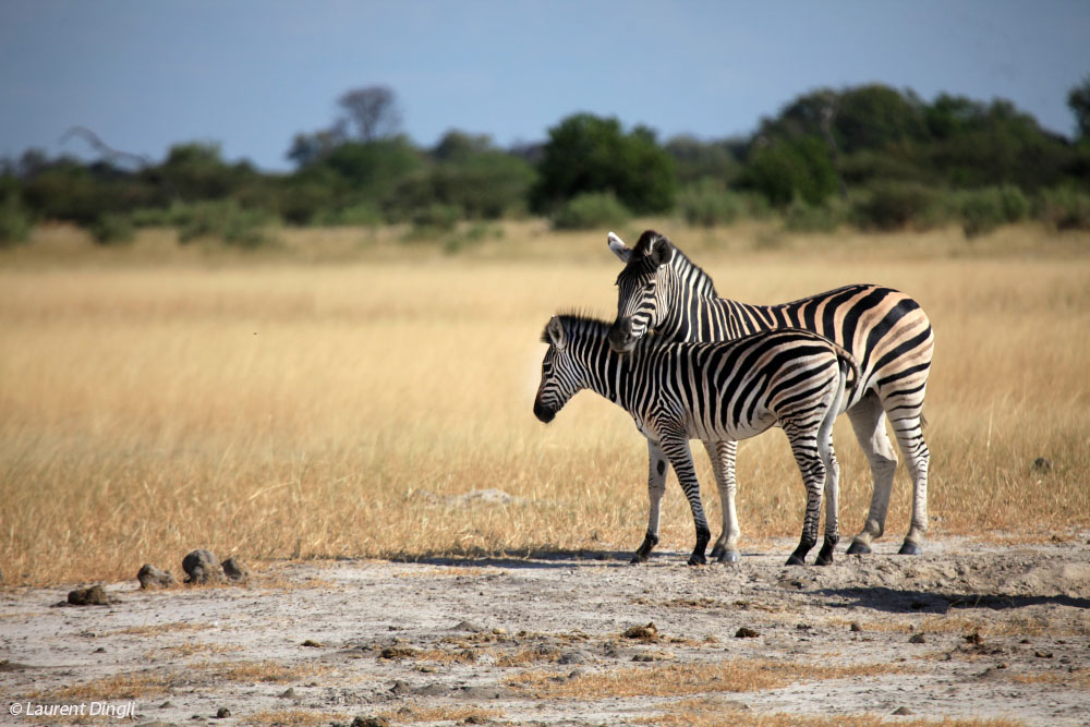 botswana_zebres_5
