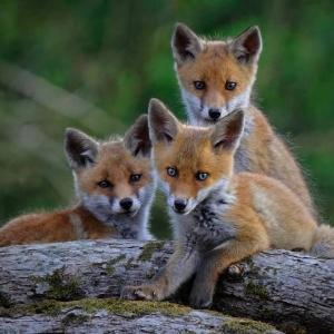 Renard roux (Vulpes vulpes) - crédit photo : Fabrice Cahez