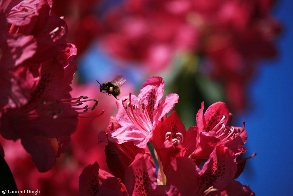 Butinage printanier dans notre jardin à Crozon © Laurent Dingli - Tous droits réservés