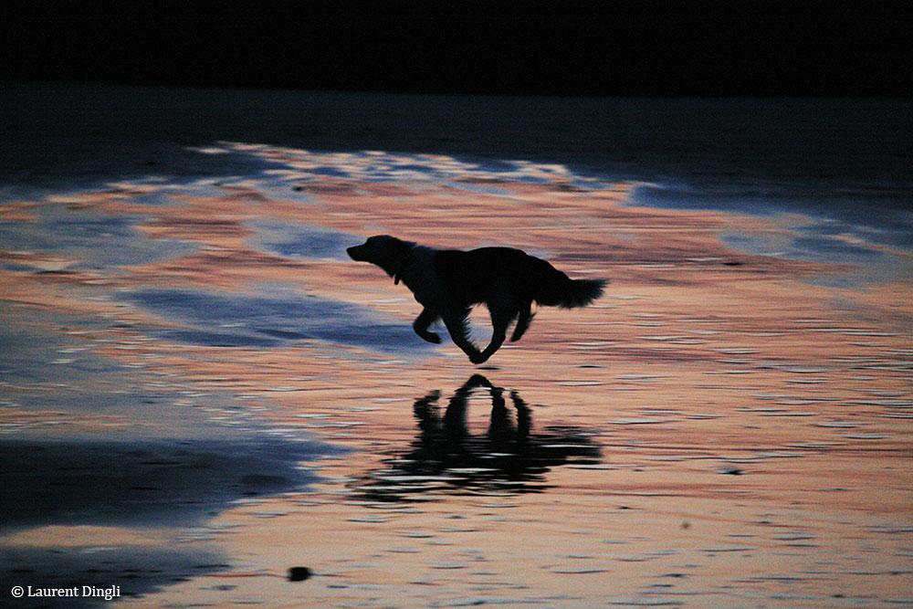 Chien courant au crépuscule - Plage de Goulien © Laurent Dingli - Tous droits réservés