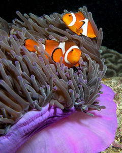 anemone_purple_anemonefish