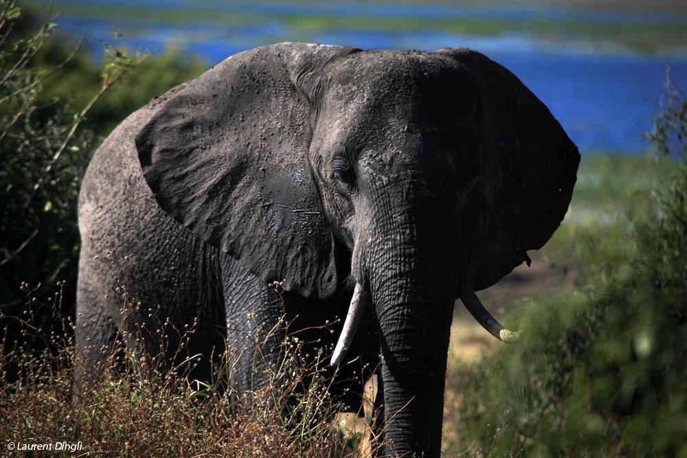 botswana_elephant_17