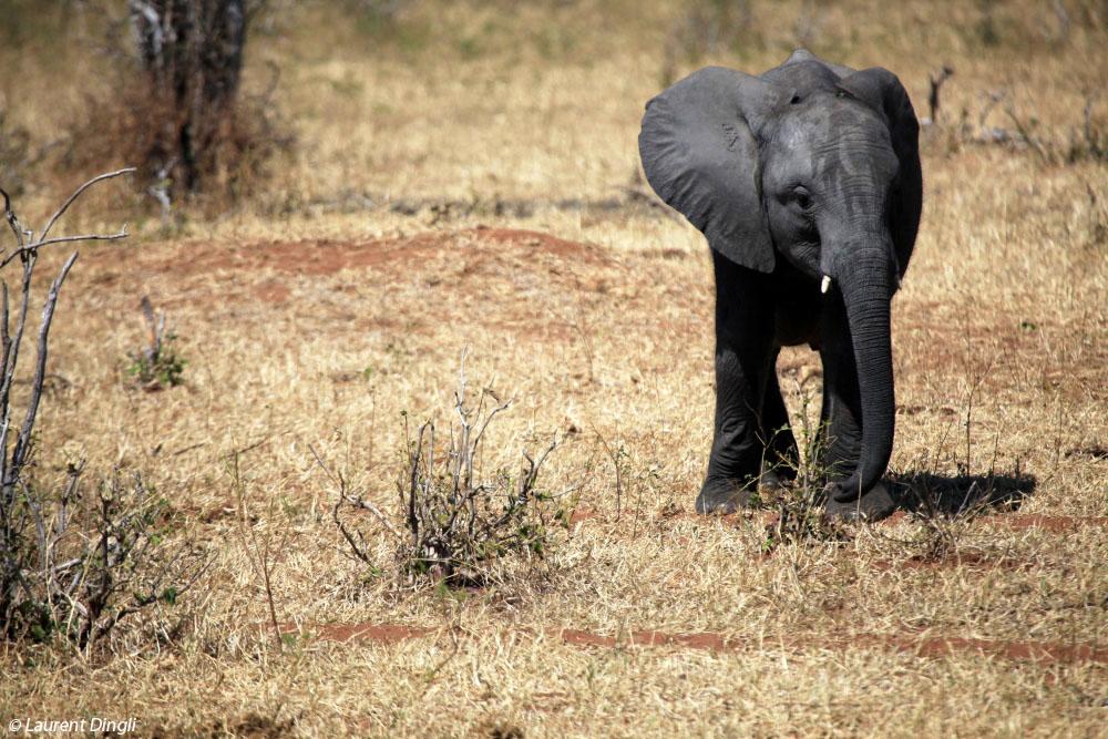 botswana_elephant_25