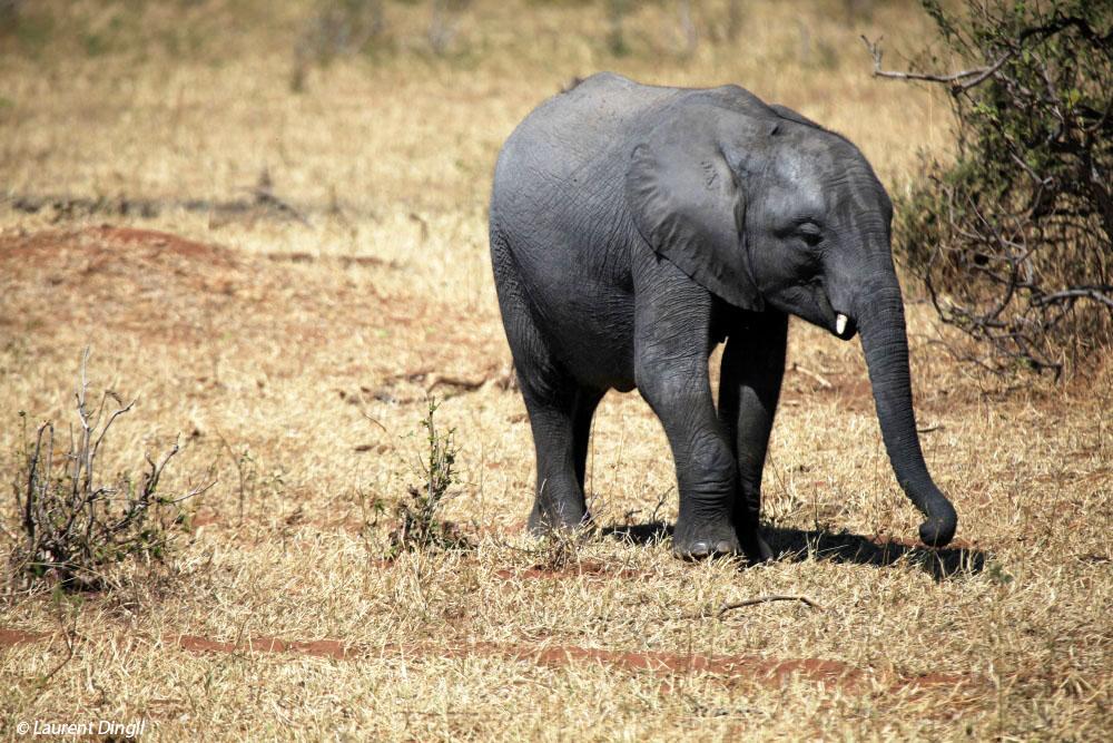 botswana_elephant_28