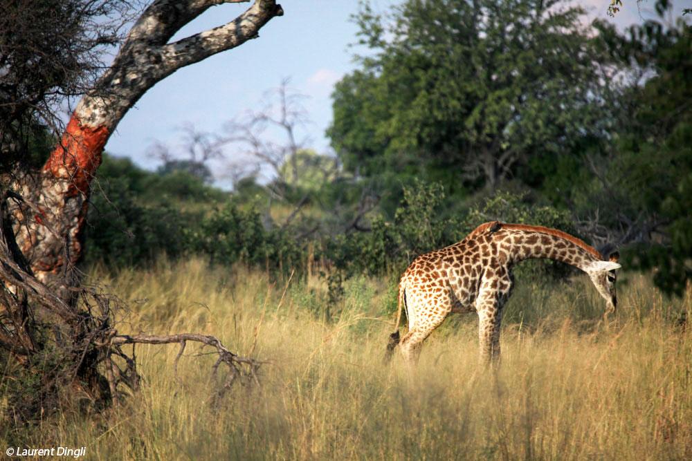 botswana_girafes_2