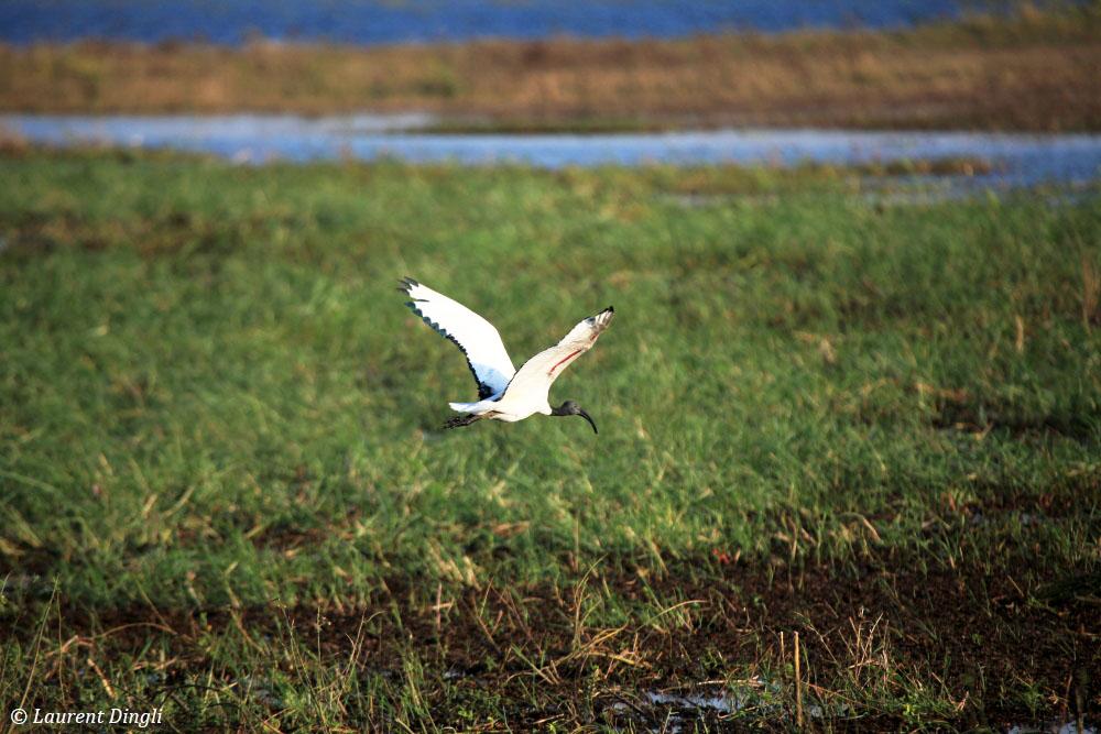 botswana_ibis_sacre_1