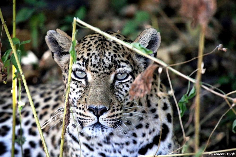 botswana_leopard_14