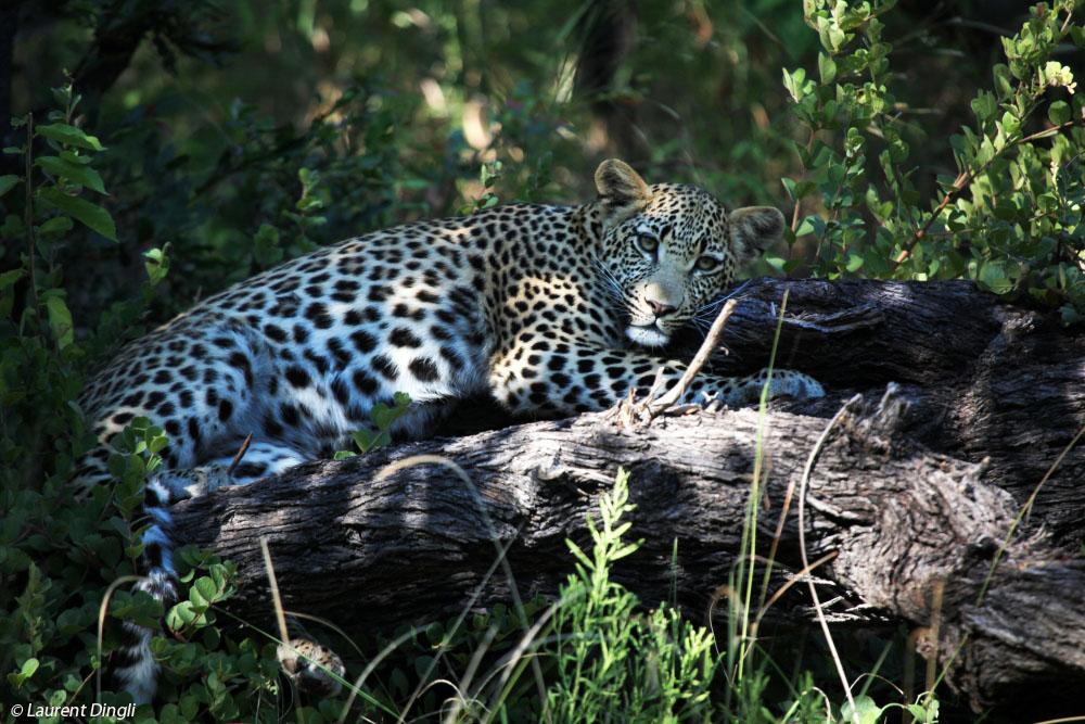 botswana_leopard_2