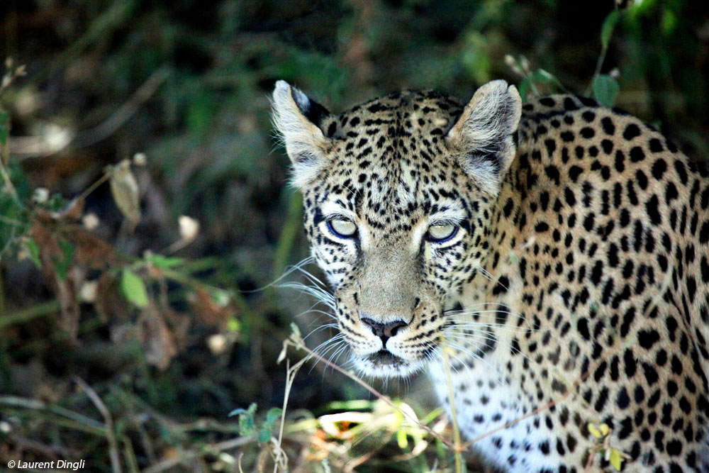 botswana_leopard_20_quart