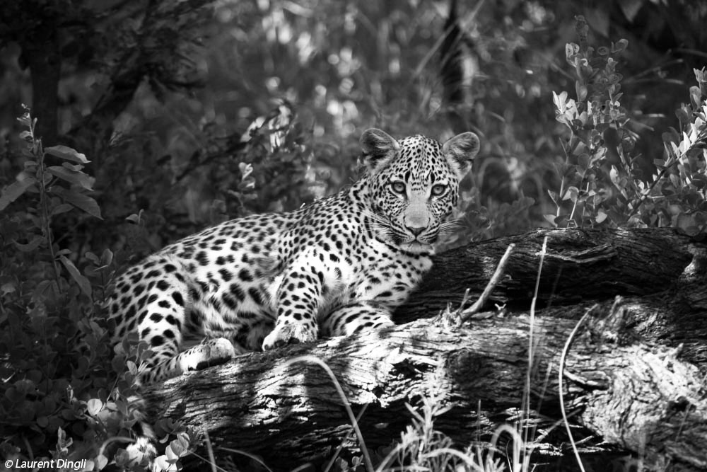 botswana_leopard_4 nb bis