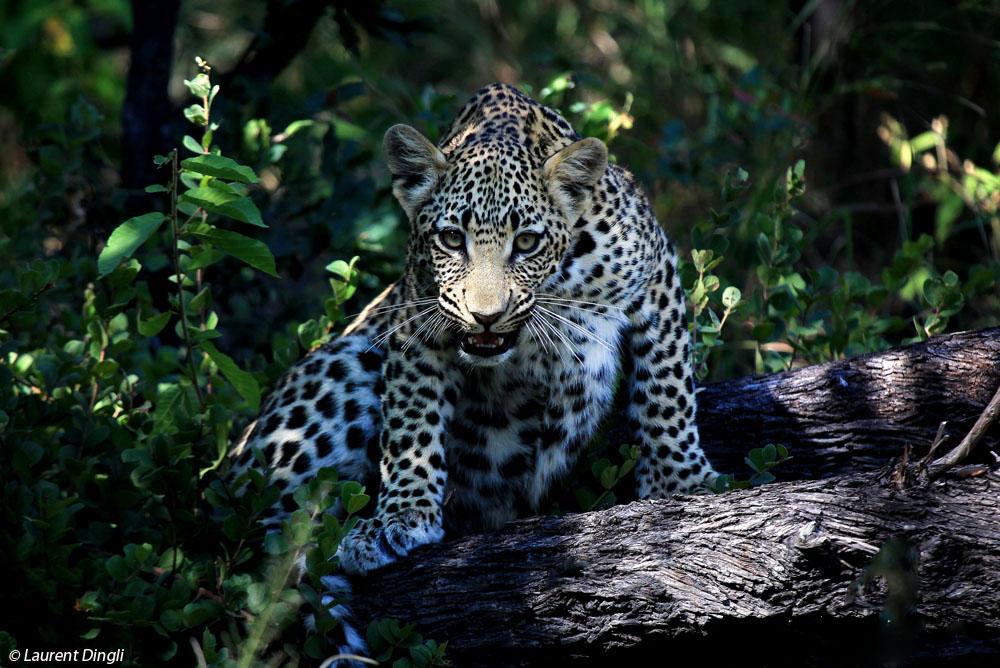 botswana_leopard_6 bis