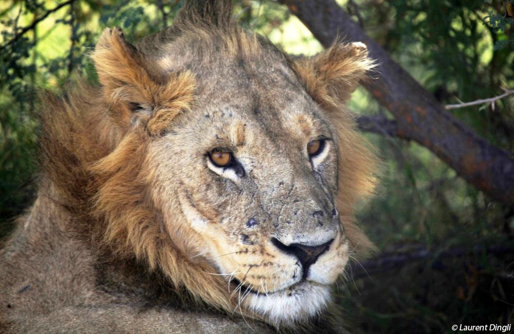 botswana_lion_1