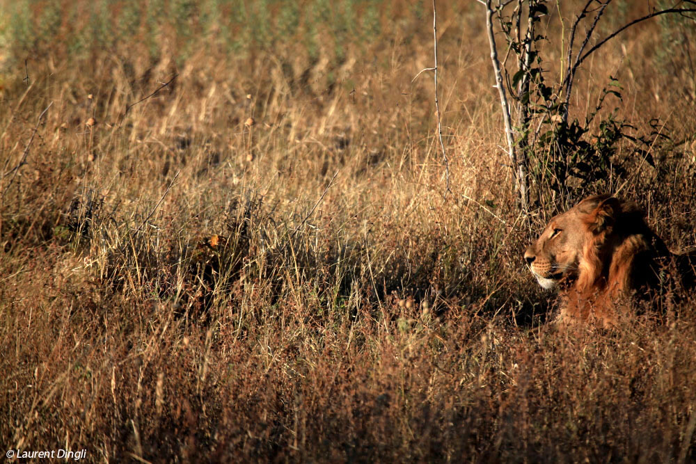 botswana_lion_12