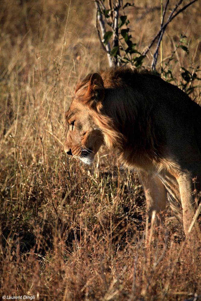 botswana_lion_14
