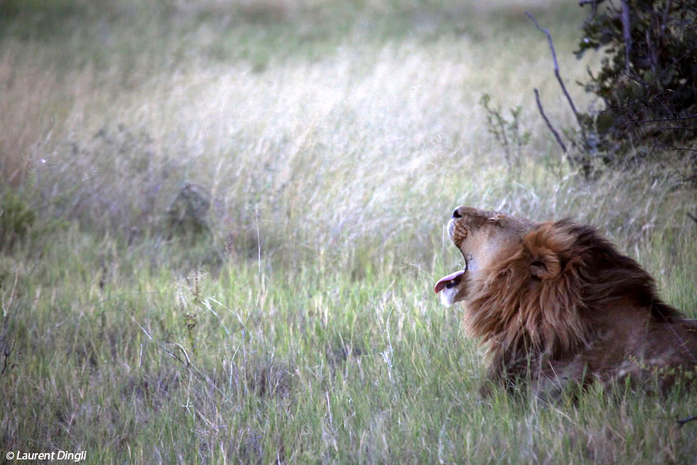 botswana_lion_6