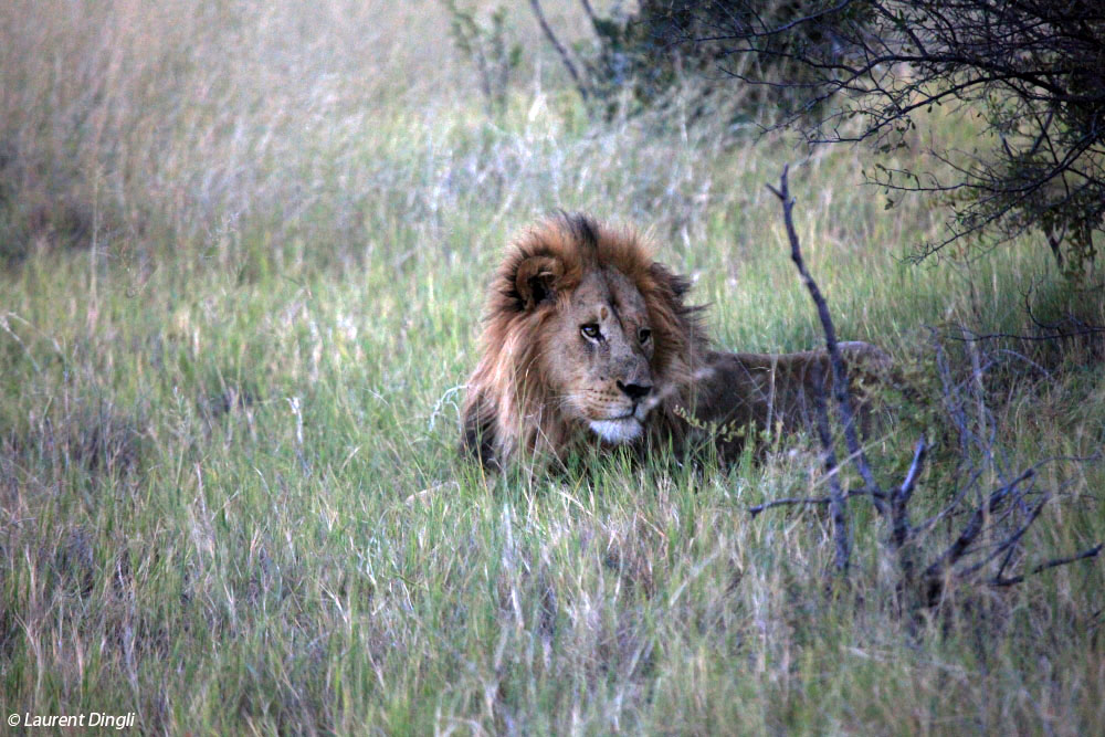 botswana_lion_9 bis
