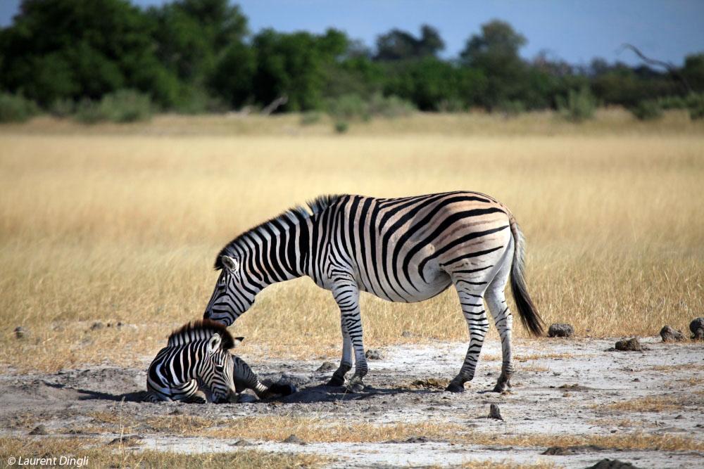 botswana_zebres_1
