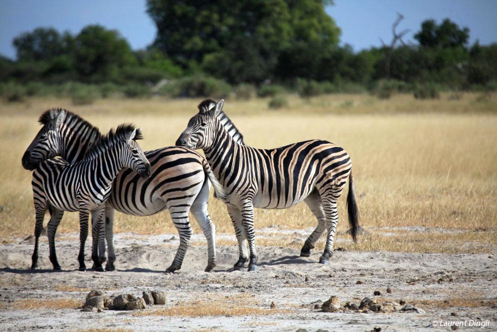 botswana_zebres_4