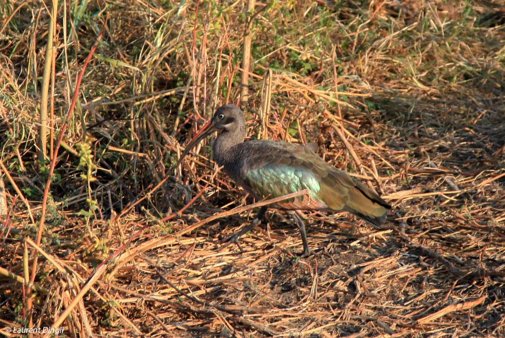 zambie_ibis_olive_1
