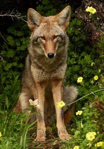 800px-urban_coyote_bernal_heights