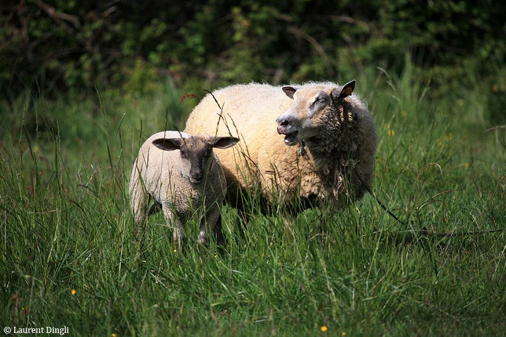 Moutons près de Kergonan - Presqu'île de Crozon © Laurent Dingli - Tous droits réservés
