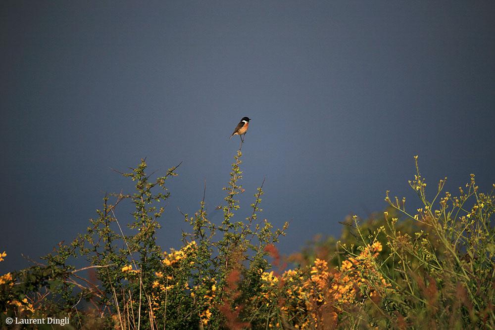 Mésange charbonnière - Site du Menhir - Presqu'île de Crozon © Laurent Dingli - Tous droits réservés