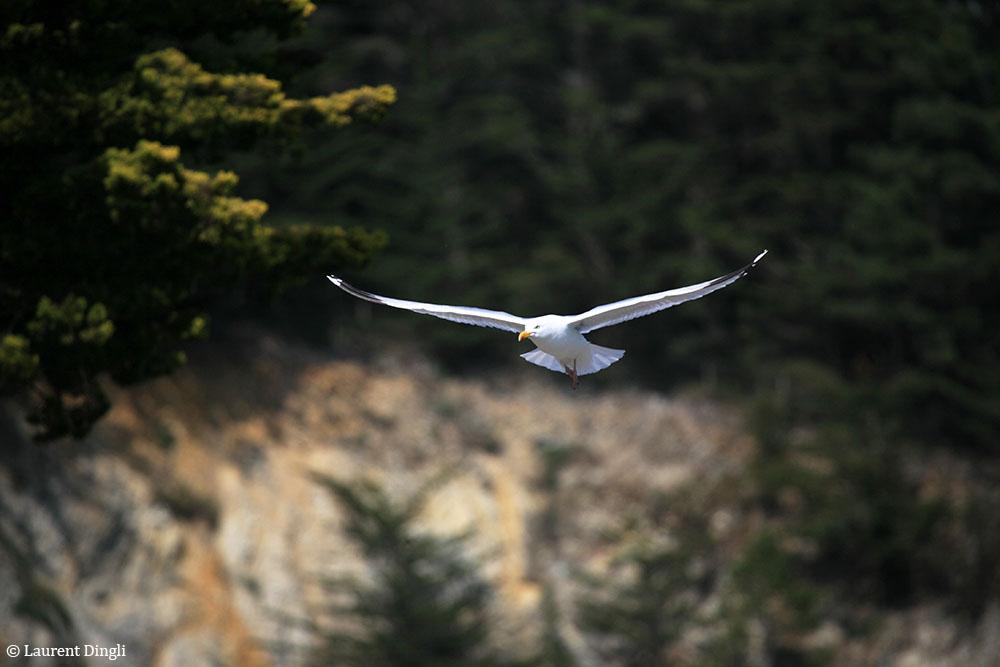 Goéland en vol au-dessus de la plage du  Portzic © Laurent Dingli - Tous droits réservés