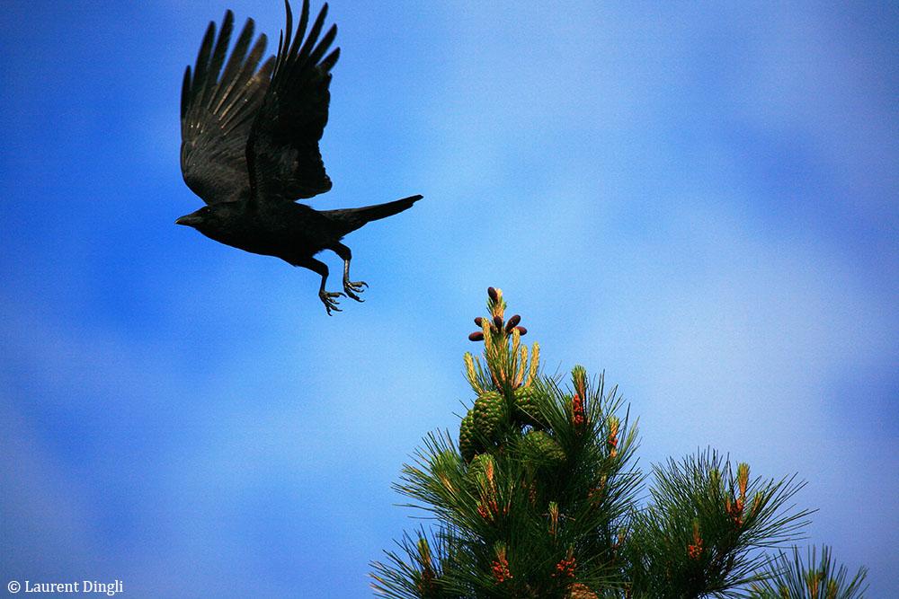 Corbeau - Site du Menhir - Presqu'île de Crozon © Laurent Dingli - Tous droits réservés