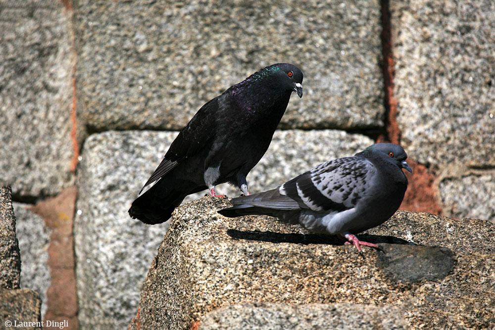 Pigeons sur la Tour Vauban - Camaret © Laurent Dingli - Tous droits réservés
