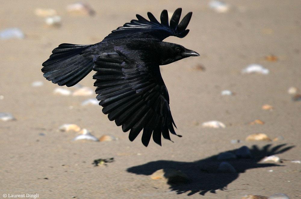 Corneille sur la plage de Morgat © Laurent Dingli - Tous droits réservés