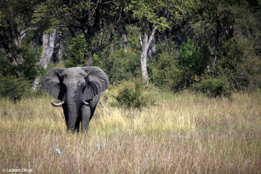 botswana_elephant_2