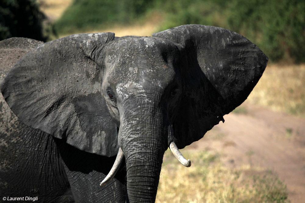 botswana_elephant_24