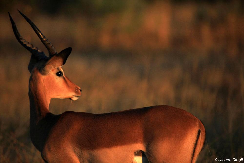 botswana_impalas_6