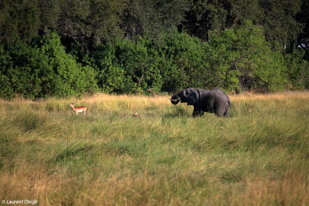 botswana_lechwe_elephant