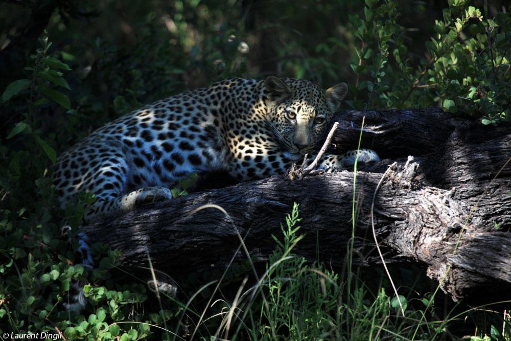 botswana_leopard_1