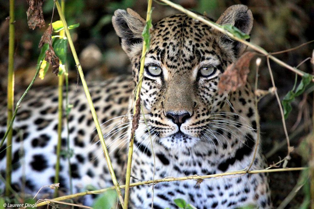 botswana_leopard_13
