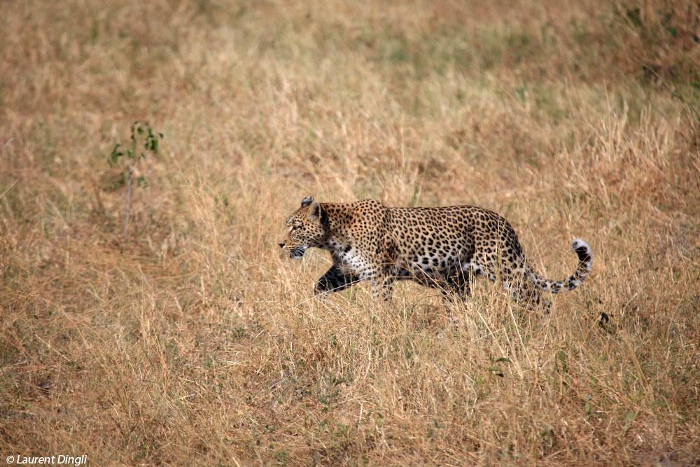 botswana_leopard_18