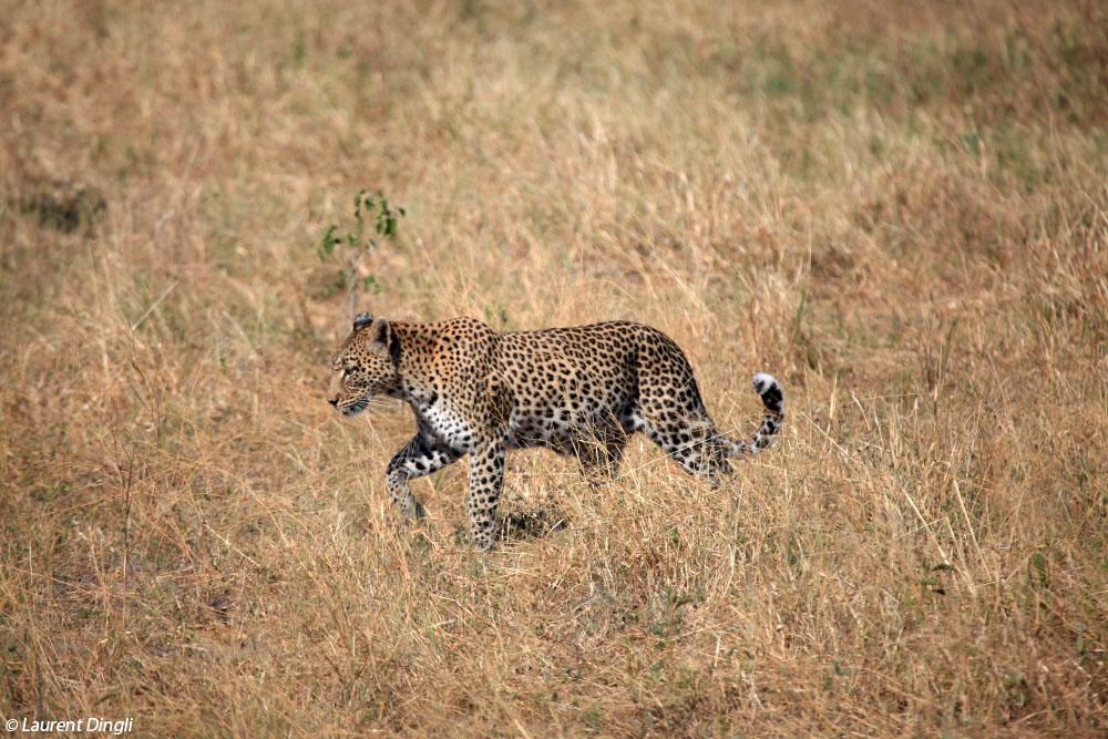 botswana_leopard_19