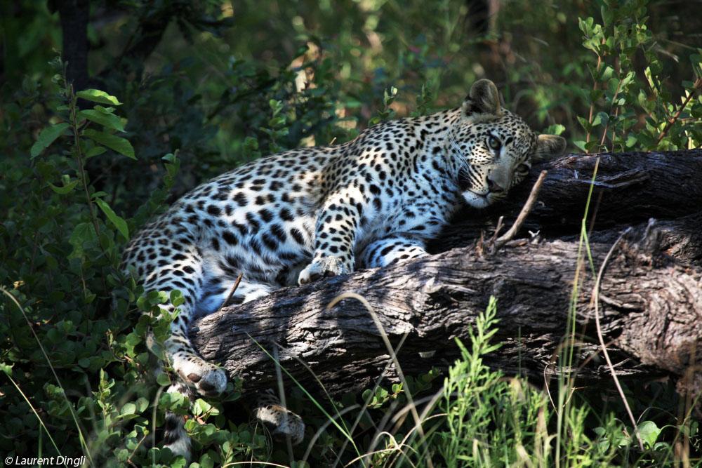 botswana_leopard_5