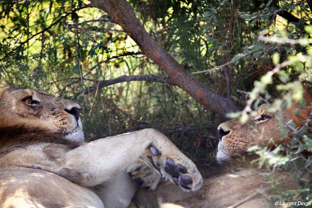 botswana_lion_3 bis