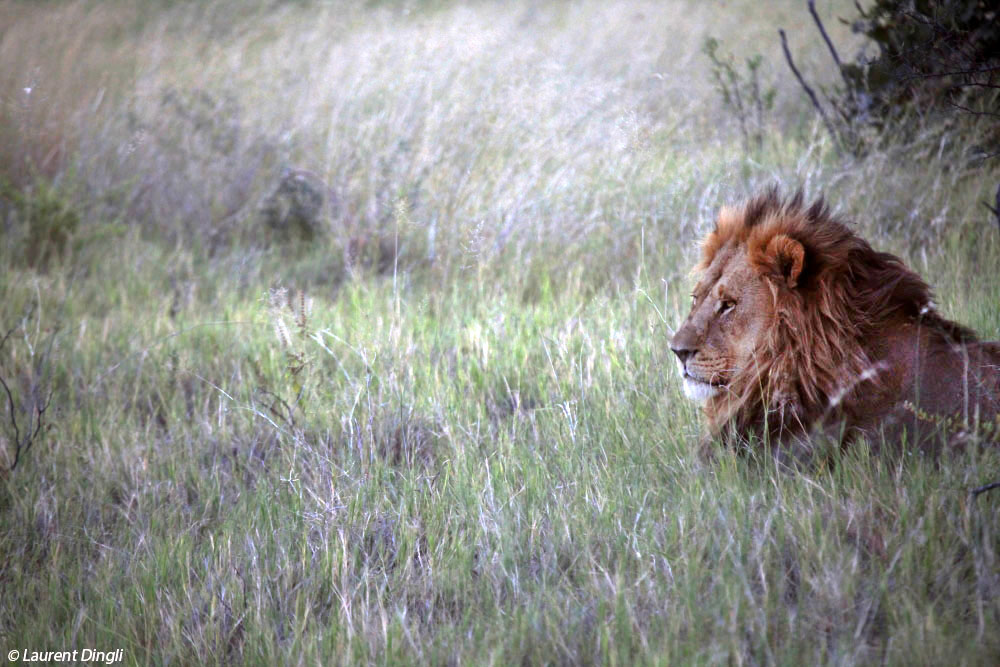 botswana_lion_5