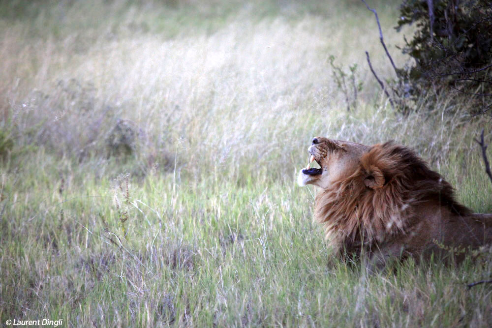 botswana_lion_7