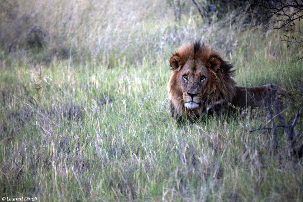 botswana_lion_8 bis